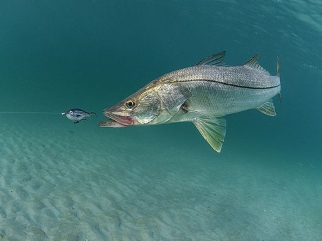 The Ones That Get Away: How Predatory Fish Pursue Evasive Prey
